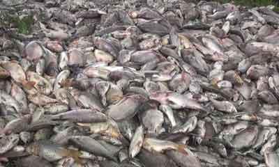 ব্রাহ্মণবাড়িয়ায় বিষপ্রয়োগে ৭০ লাখ টাকার মাছ নিধন