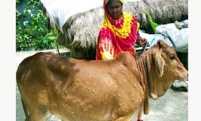 'লামফি স্কিন ডিজিসে' আক্রান্ত কালীগঞ্জের ২ শতাধিক গবাদি পশু