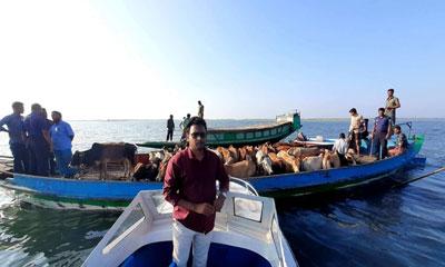 টাংগুয়ার হাওর থেকে ভারতীয় ৩৯টি গরু আটক