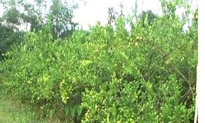 নেত্রকোনার সফল লেবু চাষি আলী আমজাদ