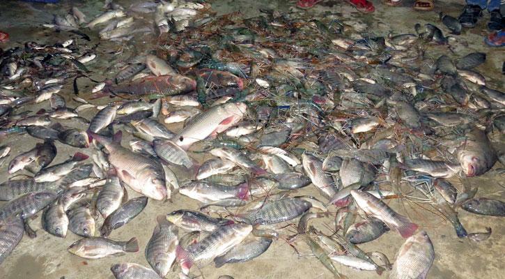 বিষ প্রয়োগে ৭০ লাখ টাকার মাছ নিধন